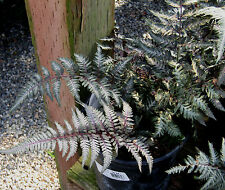 CRESTED JAPANESE PAINTED FERN 1017 SPORES (SEEDS) BEAUTIFUL PURPLE FRONDS