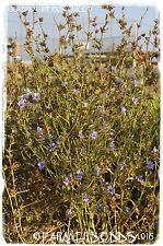 Cichorium intybus 'Wild Chicory' [Ex. Kato Gouves, Crete] 200+ Seeds