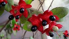 Ochna Kirkii Serrulata integerrima Petals Mickey Tree seed Home Garden Balcony