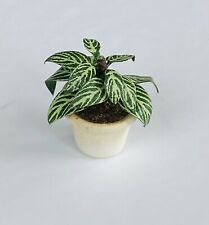 Dollhouse Artisan Calathea Freddy Plant 1:12 Miniature