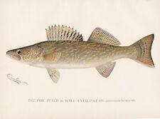 Original Antique Fish Print: Walleye or Pike Perch by Sherman Foote Denton 1896