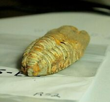 Fossil Trilobyte arthropod collectable,Fos-E35,120.4 9ct,.85oz,54x29x18mm,