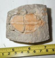 Fossil Golden Trilobite Coronocephalus jastrowi on Matrix Rock 45x25 mm 153.6 g