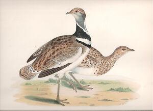 1855 Bird original print Little Bustard Beverley R. Morris