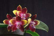 Phalaenopsis Tying Shin Fly Eagle Orchid Plant