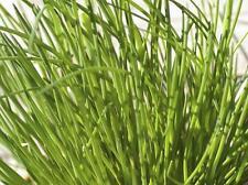 200 Graines de Ciboulette Méthode BIO seeds plantes légumes potager aromatique