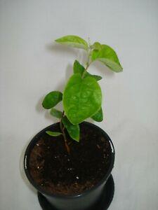 Quince Tree fruit tree seedling Cydonia oblonga edible fruit UK hardy tree