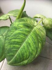 Syngonium macrophyllum - frosted heart - Tropical house plant - terrarium -