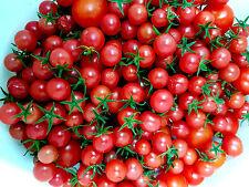 TOMATE  Rote WILDTOMATE  aus Peru über 1000 Früchte, Topf, Kübel, Zimmer, Balkon