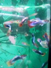 New listing Endler Guppys livebearers 5 + male fish peaceful Easy community. Stay smalller
