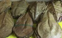 ☺☝~100 Stück (100 Gramm) 11-14cm Seemandelbaumblätter Catappa Leaves TopQualität