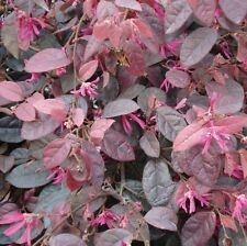 Loropetalum chinense Zhuzhou Fuchsia Chinese Fringe Shrub Seeds!