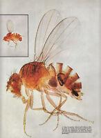 Publicité ancienne insectes drosophiles 1970 issue de magazine
