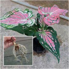 Caladium Bulb Queen of the Leafy Plant ''Dangdeam'' Colourful Tropical Thai