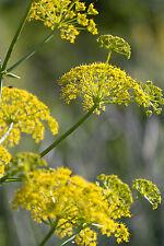 2940mg Wild Fennel ~580 Seeds ~ Imported Italian Heirloom Herb Ornamental Plant