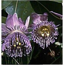 Sweet Grenadilla PASSIFLORA LIGULARIS 5seeds