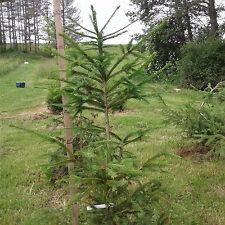 "FAST GROWING NORWAY SPRUCE TREES 40""-46"" Fresh dug 6 year Transplant"