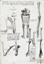 Femelle du bassin du coccyx et les membres inférieurs Leonardo Da Vinci Poster Print