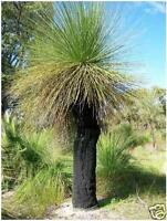 Balga W.A. Grass Tree Seed Very Drought Hardy Rockeries Evergreen & Tough