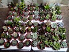 20 x Mixed Succulents/Cactus Plants (5.5cm Pots) - (Assorted Varieties)