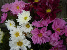 cosmos, Double Click, Rare, semi to fully double blooms! 30 Seeds! GroCo
