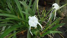 Hymenocallis littoralis - Spider Lily Large Perennial Bulbs - Set of 3