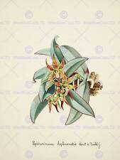 PAINTING BOOK PAGE ORCHID COLLECTION EPIDENDRUM SOPHRONITIS ART PRINT HP1579
