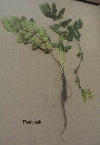 Doldenblütler, Doldengewächse (Apiaceae) mit Wurzel, Pflanzen für Herbarium