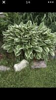 Hosta plants Green And White, Fresh, Dug After Order Is Places 10Bare Plant Root