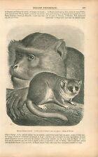 Singes Microcèbe Magot Muséum d'Histoire Naturelle Paris GRAVURE OLD PRINT 1853