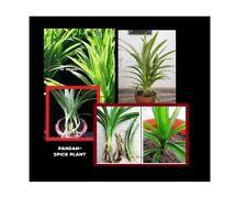 RARE FRAGRANT PANDAN~ SPICE PLANT Pandanus Amaryllifolius  6 NCH RHIZOEM CUT