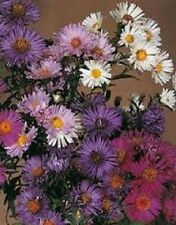 30+ Aster Novae Belgii Mix Flower Seeds / Annual