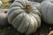 Pumpkin GIANT JARRAHDALE-Pumpkin Seeds-LARGE, TASTY HEIRLOOM-20 SEEDS.