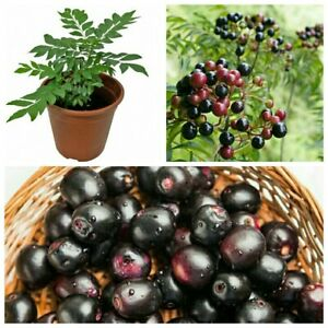 100% Organic Indian Curry leaves/Curry leaf plant kadi patta murraya seeds 10