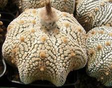 Astrophytum asterias cv. Superkabuto 'Miracle' 50 seeds