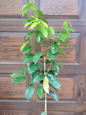 Soursop Guanabana live tree plant Why pay more?