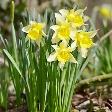 50 Wild Daffodils-Lent Lily-Lobularis, Top Quality Freshly Lifted Bulbs Size 6/7