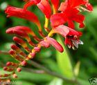 10 CROCOSMIA LUCIFER GARDENING BULB BEAUTIFUL SPRING SUMMER FLOWER PERENNIAL NEW