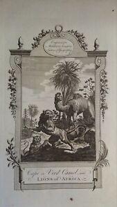 1778 LARGE ANTIQUE COPPER ENGRAVING - CAPE DE VERD CAMEL & LIONS OF AFRICA