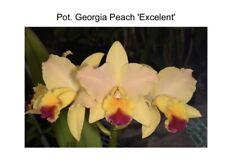 Potinara Georgia Peach 'Excellent' X Pot Fire House 'Love It' 4� Pot (15) 6958