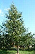 75 Samen Europäische Lärche (Larix decidua), Bonsai, Baum des Jahres 2012, larch