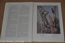 1933 magazine article about WOODPECKERS, info, color plates