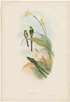 Gould Hummingbirds antique h/c lithograph w/gold leaf Pl 167 Bogota Train-bearer