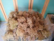 Teloxis Aristata Seafoam Professionale, creazioni di alberi , ulivi con timo