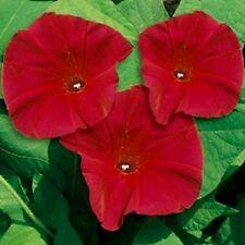 Ipomoea - Morning Glory - Scarlet O Hara - 210 seeds