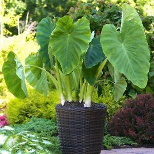 3 Colocasia Esculenta Elephant ear Eddoe Bulbs Taro Garden Plant tropical exotic