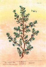 "Blackwell's Botanical - ""THE JUNIPER TREE"" - Hand-Colored Engraving - 1737"