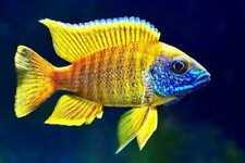 Live Yellow Sunshine Peacock Cichlid Aulonocara Baenschi  for fish tank aquarium