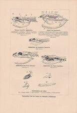 Giftschlangen Kopf Anatomie Giftzahn Kobra DRUCK von 1906 Grubenotter