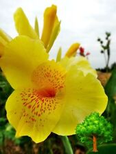 *UNCLE CHAN* 25 SEEDS YELLOW CANNA GENERALIS CANNA LILY TROPICAL FLOWER